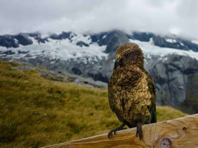 Kea, the NZ alpine parrot