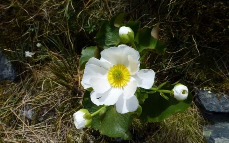 Flower named Mt Cook Lily found in Gillespie Pass